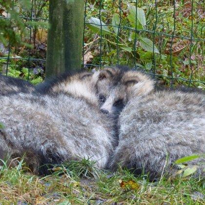 Vienā kopīgā un pūkainā čupiņā guļ arī jenotsuņu trio