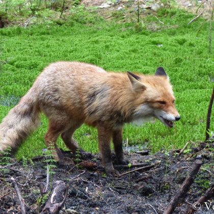 Pavasaris dzīvniekiem atnesis arī gadskārtējo atvadīšanos no ziemas kažokiem