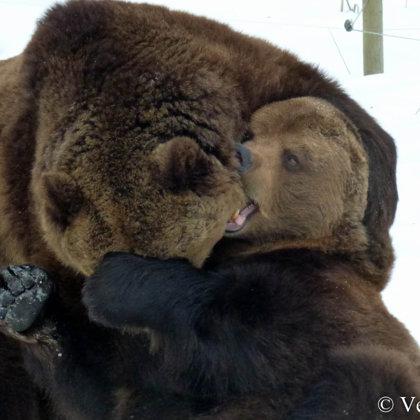 Tikmēr lāču puikām prātā rotaļas!