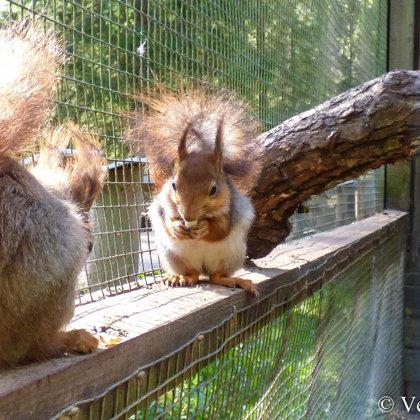 Vāverēm īpaši patīk brokastot siltajā saulītē.