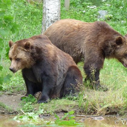 Lāči, Mikus un Puika, vasarās labprāt pārtiek no veģetārām maltītēm