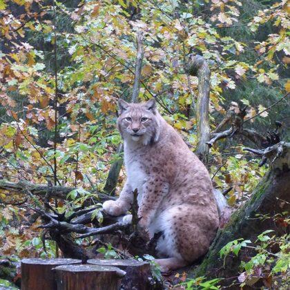 jo rudens ir laiks, kad meža zvērs par lieko svaru nu gan nesatraucas!