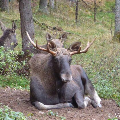 Gada dzīvnieks 2019 - Alnis - Līgatnes dabas takās