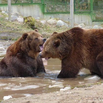 Apmeklētājiem arvien biežāk savas rotaļas atrāda abi lāči, Mikus un Puika.