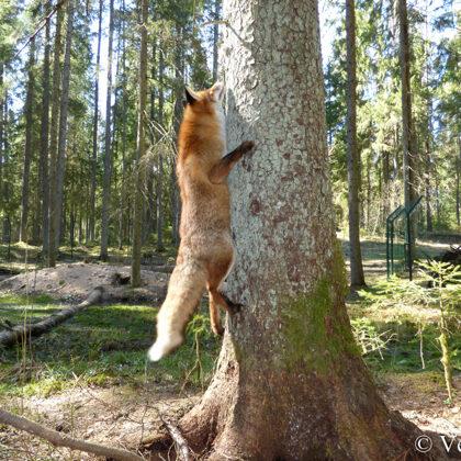 Vai varbūt - kokā?