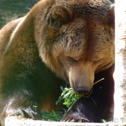 Pilnām mutēm var ēst jauno zāli un lapas!