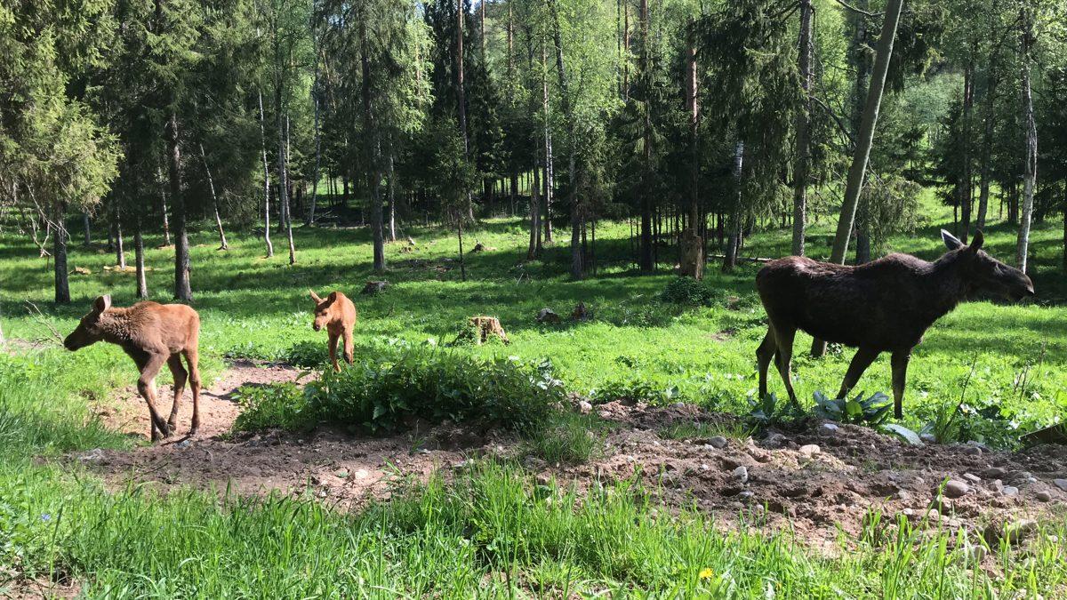 Aļņu mamma ar diviem alnēniem. Foto: Velga Vītola
